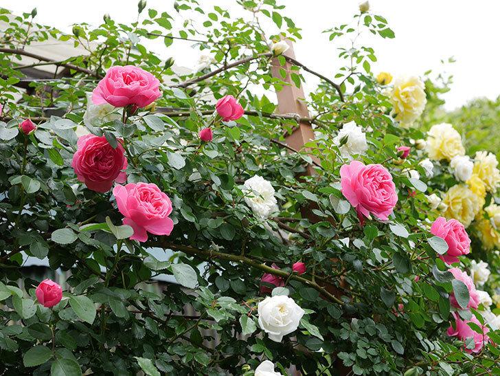 レオナルド・ダ・ヴィンチ(ツルバラ)の花が増えて来た。2018年-25.jpg
