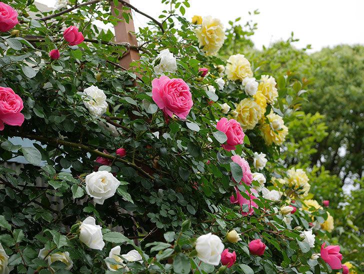 レオナルド・ダ・ヴィンチ(ツルバラ)の花が増えて来た。2018年-26.jpg