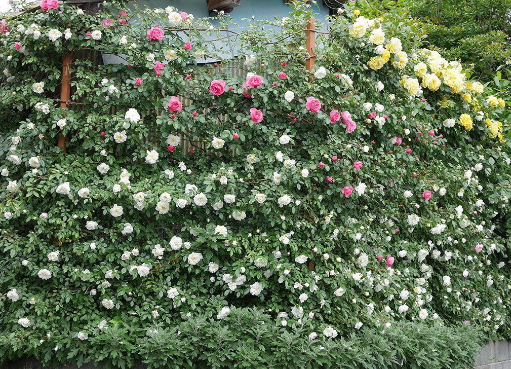 レオナルド・ダ・ヴィンチ(ツルバラ)の花が増えて来た。2018年-27.jpg