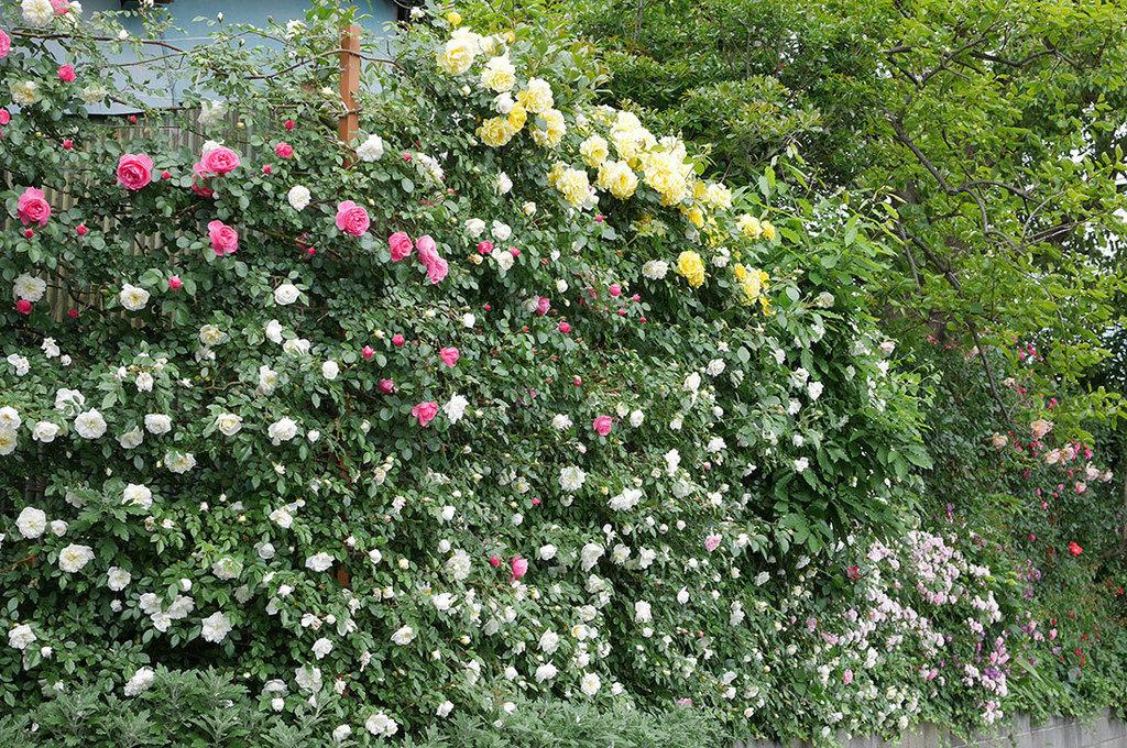 レオナルド・ダ・ヴィンチ(ツルバラ)の花が増えて来た。2018年-28.jpg