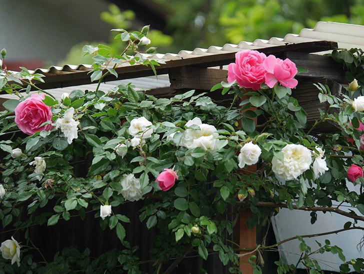 レオナルド・ダ・ヴィンチ(ツルバラ)の花が増えて来た。2018年-3.jpg