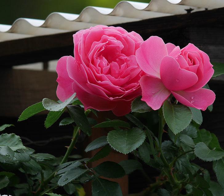 レオナルド・ダ・ヴィンチ(ツルバラ)の花が増えて来た。2018年-4.jpg