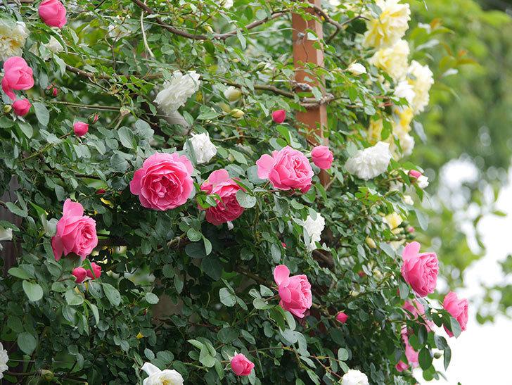 レオナルド・ダ・ヴィンチ(ツルバラ)の花が増えて来た。2018年-5.jpg