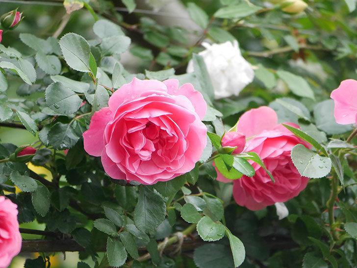 レオナルド・ダ・ヴィンチ(ツルバラ)の花が増えて来た。2018年-6.jpg