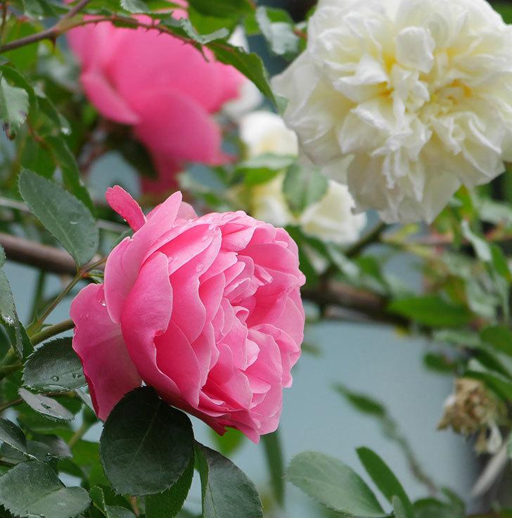 レオナルド・ダ・ヴィンチ(ツルバラ)の花が増えて来た。2018年-7.jpg