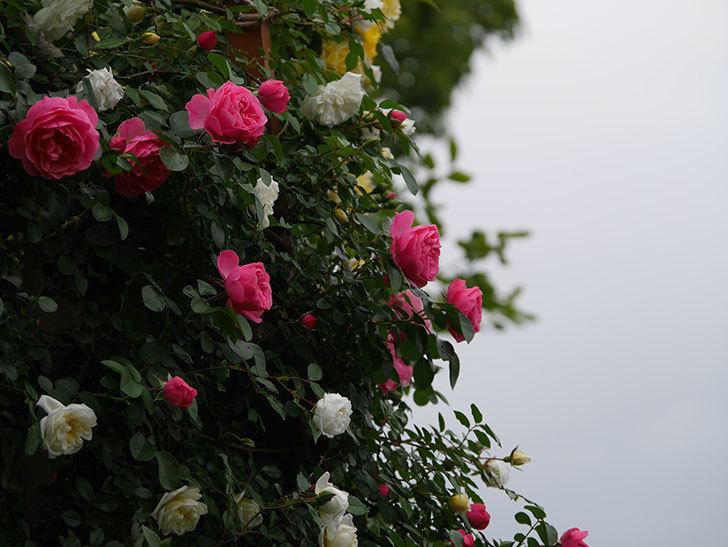 レオナルド・ダ・ヴィンチ(ツルバラ)の花が増えて来た。2018年-8.jpg