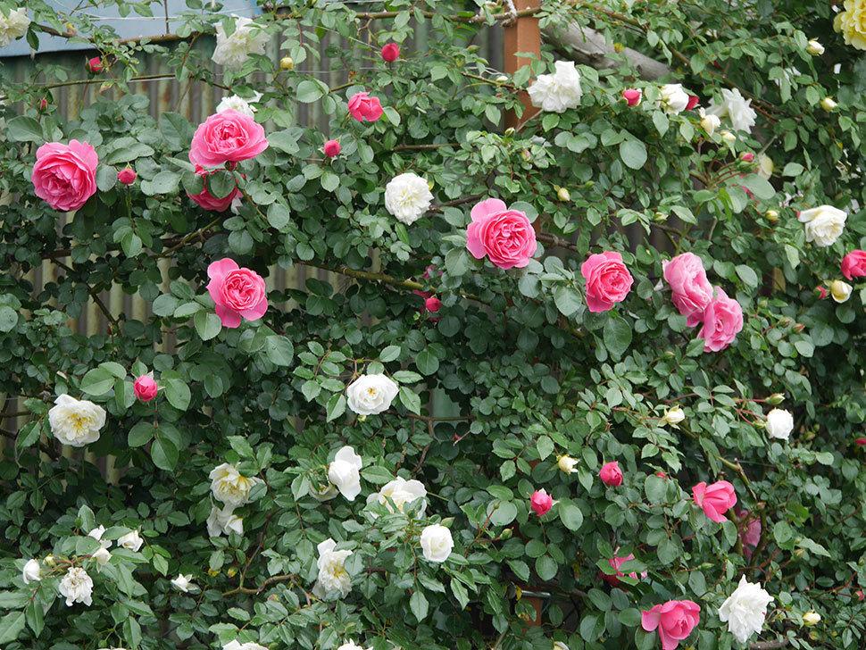 レオナルド・ダ・ヴィンチ(ツルバラ)の花が増えて来た。2018年-9.jpg