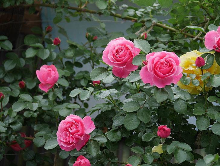 レオナルド・ダ・ヴィンチ(ツルバラ)の花が増えて来た。2019年-2.jpg