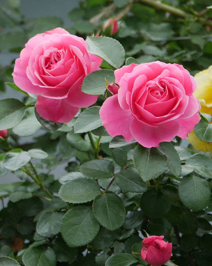 レオナルド・ダ・ヴィンチ(ツルバラ)の花が増えて来た。2019年-3.jpg