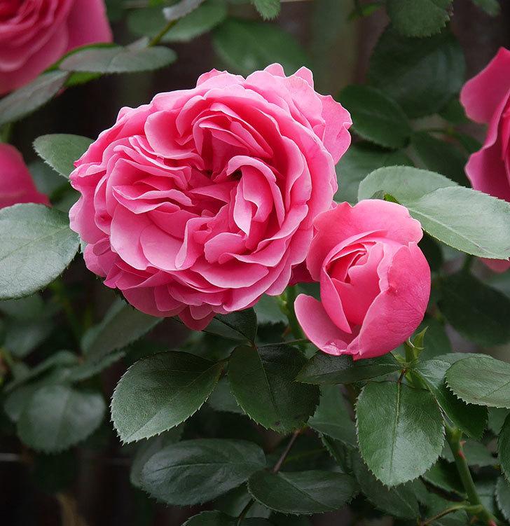 レオナルド・ダ・ヴィンチ(ツルバラ)の花が増えて来た。2019年-4.jpg