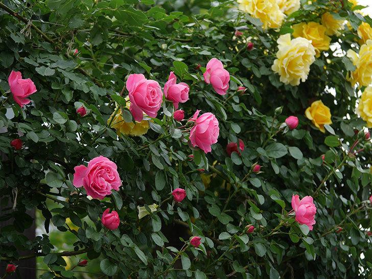 レオナルド・ダ・ヴィンチ(ツルバラ)の花が増えて来た。2019年-5.jpg