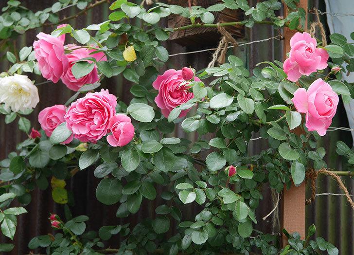 レオナルド・ダ・ヴィンチ(ツルバラ)の花が増えて来た。2019年-8.jpg