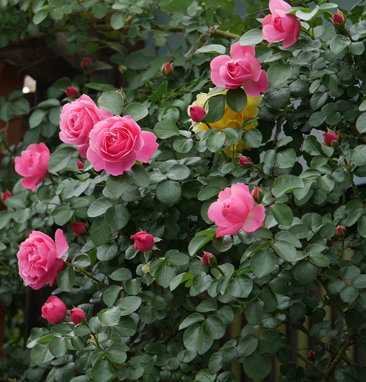 レオナルド・ダ・ヴィンチ(ツルバラ)の花が増えて来た。2019年-9.jpg