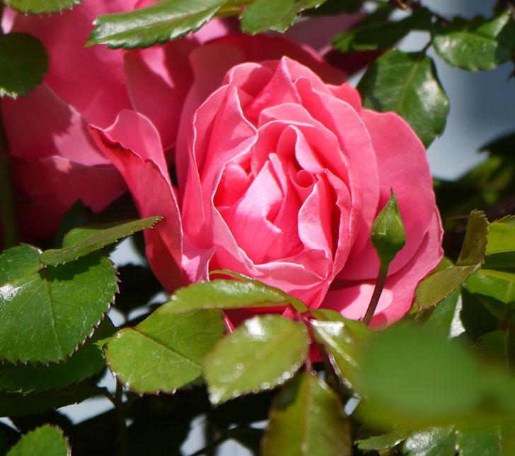 レオナルド・ダ・ヴィンチ(ツルバラ)の花が少しずつ増えて来た。2018年-2.jpg