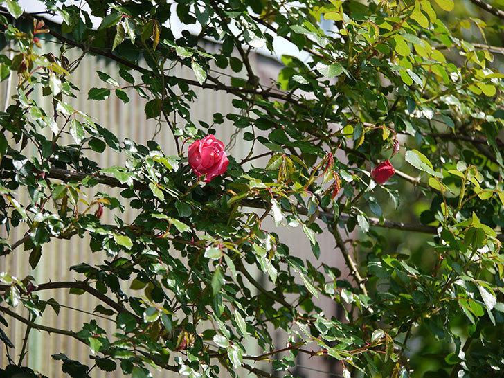 レオナルド・ダ・ヴィンチ(ツルバラ)の花が少しずつ増えて来た。2018年-4.jpg