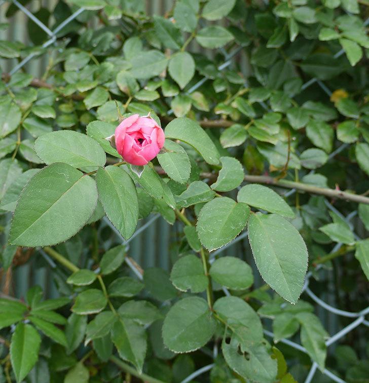 レオナルド・ダ・ヴィンチ(ツルバラ)の花が少し咲いた。2016年-2.jpg