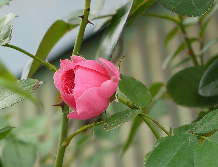 レオナルド・ダ・ヴィンチ(ツルバラ)の花が少し咲いた。2016年-4.jpg