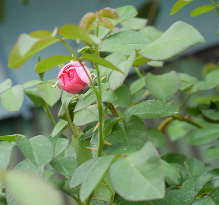 レオナルド・ダ・ヴィンチ(ツルバラ)の花が少し咲いた。2016年-5.jpg