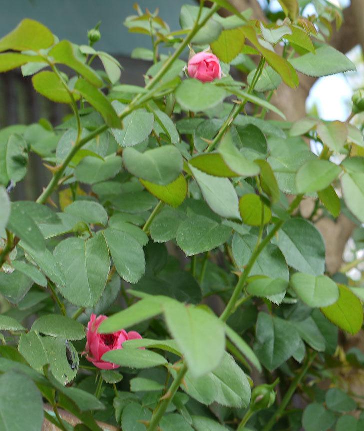 レオナルド・ダ・ヴィンチ(ツルバラ)の花が少し咲いた。2016年-6.jpg