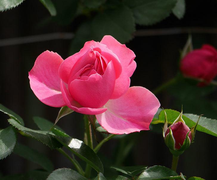 レオナルド・ダ・ヴィンチ(ツルバラ)の花が少し咲いた。2019年-1.jpg
