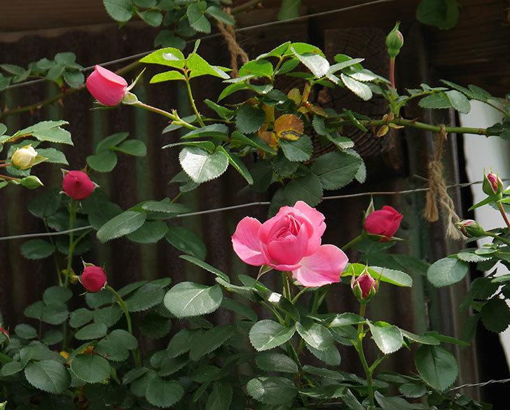 レオナルド・ダ・ヴィンチ(ツルバラ)の花が少し咲いた。2019年-2.jpg