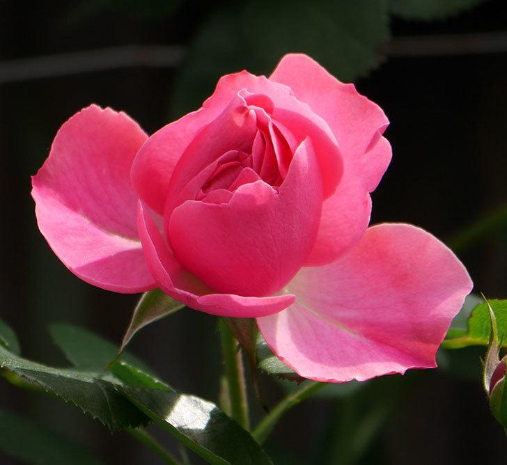 レオナルド・ダ・ヴィンチ(ツルバラ)の花が少し咲いた。2019年-3.jpg