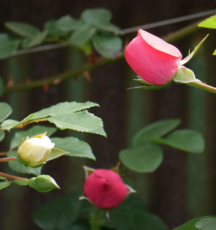 レオナルド・ダ・ヴィンチ(ツルバラ)の花が少し咲いた。2019年-4.jpg