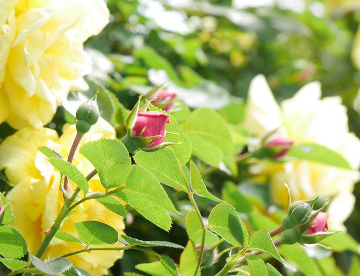 レオナルド・ダ・ヴィンチ(ツルバラ)の花が少し咲いた。2019年-5.jpg