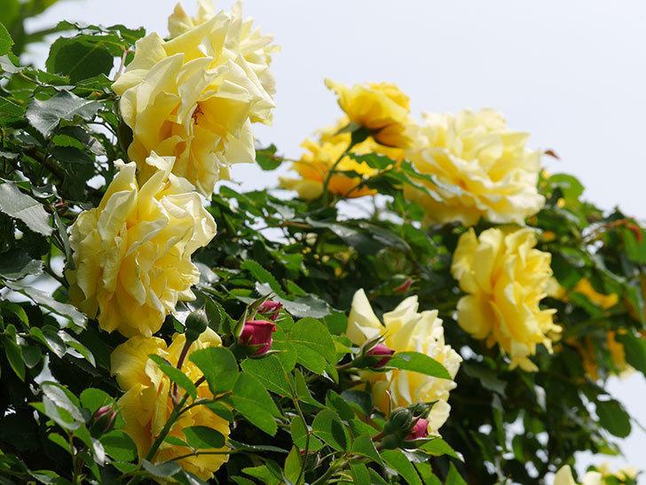 レオナルド・ダ・ヴィンチ(ツルバラ)の花が少し咲いた。2019年-6.jpg