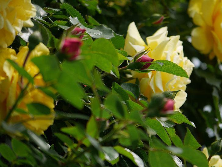 レオナルド・ダ・ヴィンチ(ツルバラ)の花が少し咲いた。2019年-7.jpg