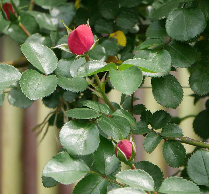 レオナルド・ダ・ヴィンチ(ツルバラ)の花が少し咲いた。2019年-9.jpg