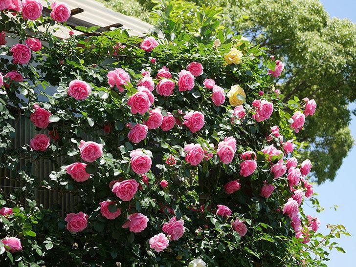レオナルド・ダ・ヴィンチ(ツルバラ)の花が満開になった。2019年-1.jpg