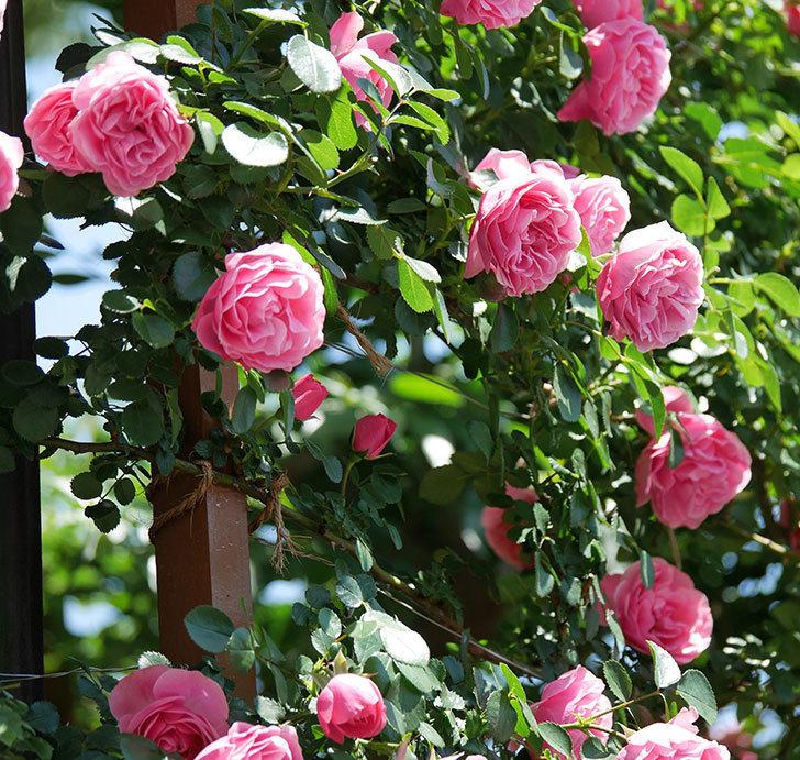 レオナルド・ダ・ヴィンチ(ツルバラ)の花が満開になった。2019年-10.jpg