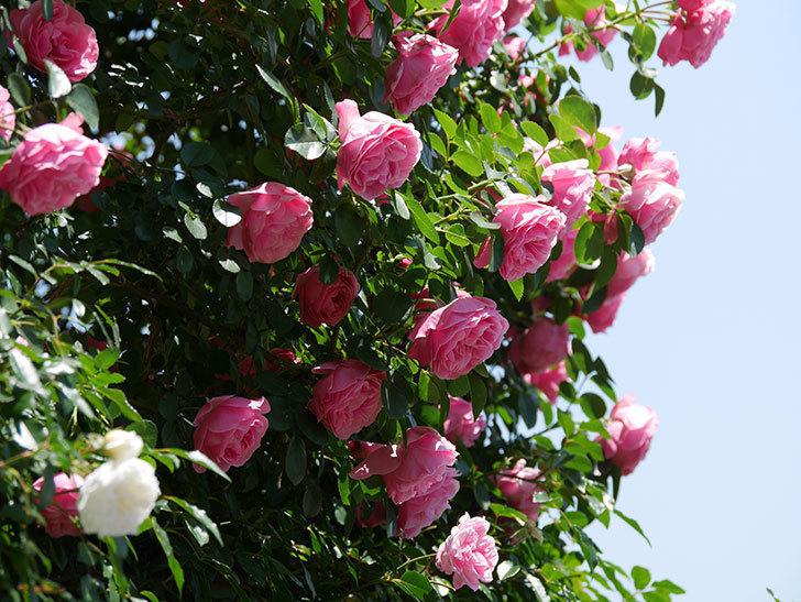 レオナルド・ダ・ヴィンチ(ツルバラ)の花が満開になった。2019年-11.jpg