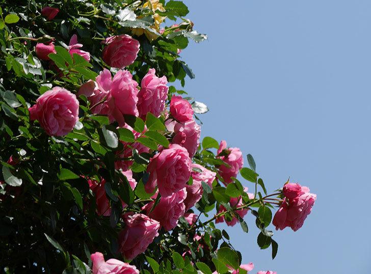 レオナルド・ダ・ヴィンチ(ツルバラ)の花が満開になった。2019年-12.jpg