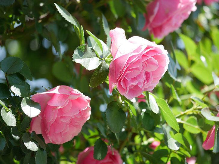 レオナルド・ダ・ヴィンチ(ツルバラ)の花が満開になった。2019年-13.jpg