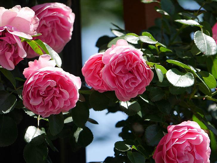 レオナルド・ダ・ヴィンチ(ツルバラ)の花が満開になった。2019年-14.jpg