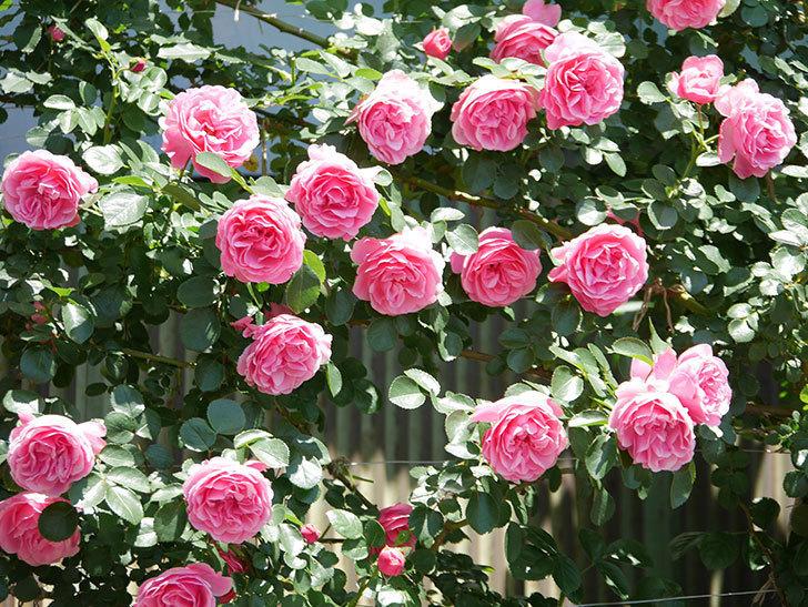 レオナルド・ダ・ヴィンチ(ツルバラ)の花が満開になった。2019年-15.jpg