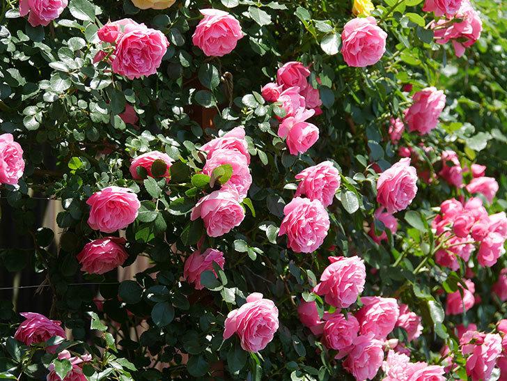 レオナルド・ダ・ヴィンチ(ツルバラ)の花が満開になった。2019年-16.jpg
