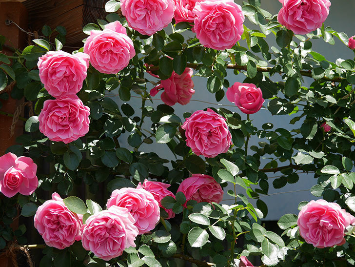 レオナルド・ダ・ヴィンチ(ツルバラ)の花が満開になった。2019年-18.jpg