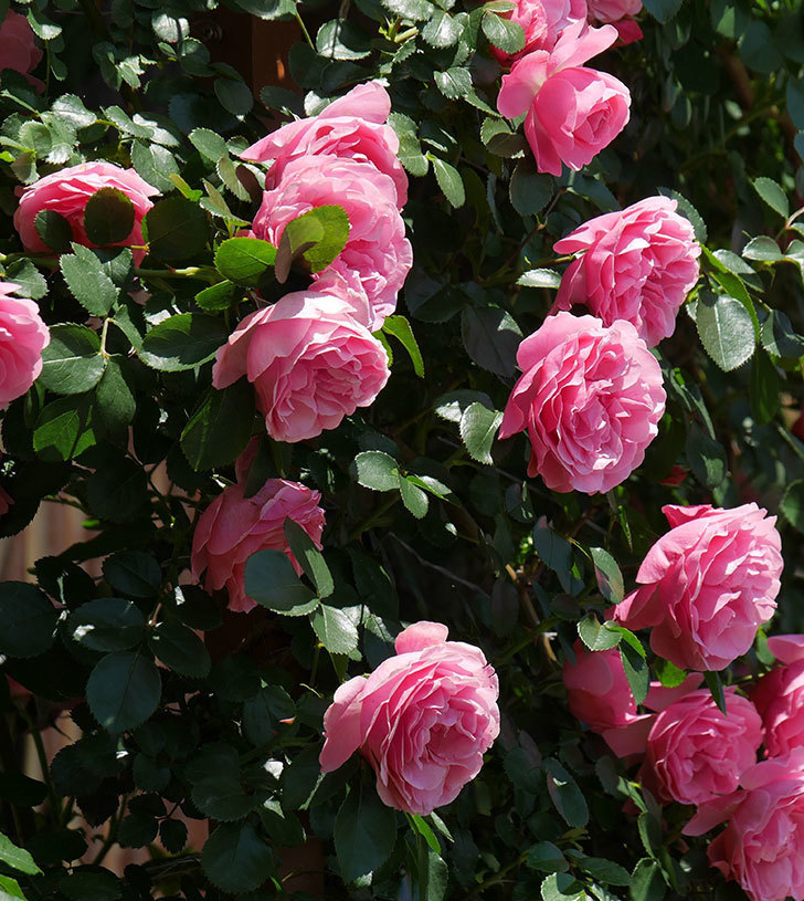レオナルド・ダ・ヴィンチ(ツルバラ)の花が満開になった。2019年-19.jpg