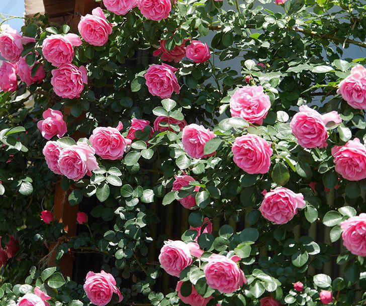 レオナルド・ダ・ヴィンチ(ツルバラ)の花が満開になった。2019年-20.jpg