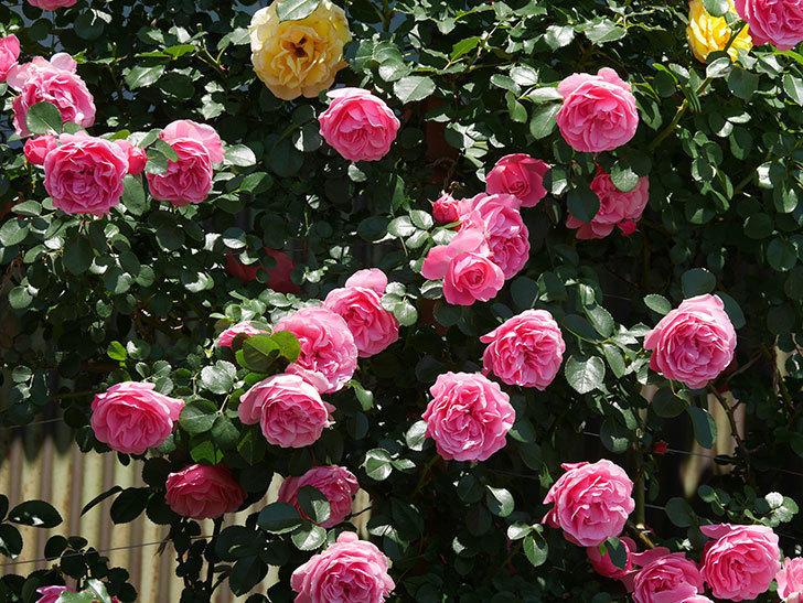 レオナルド・ダ・ヴィンチ(ツルバラ)の花が満開になった。2019年-21.jpg
