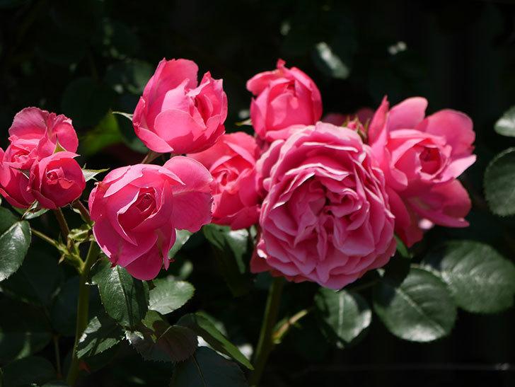 レオナルド・ダ・ヴィンチ(ツルバラ)の花が満開になった。2019年-25.jpg