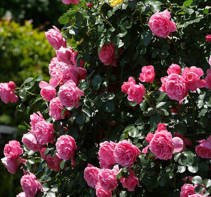 レオナルド・ダ・ヴィンチ(ツルバラ)の花が満開になった。2019年-26.jpg
