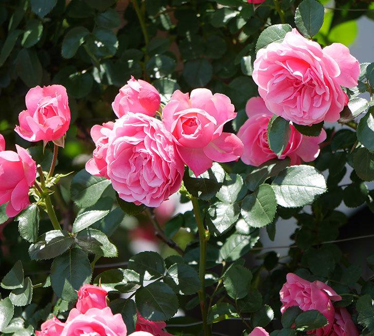 レオナルド・ダ・ヴィンチ(ツルバラ)の花が満開になった。2019年-27.jpg