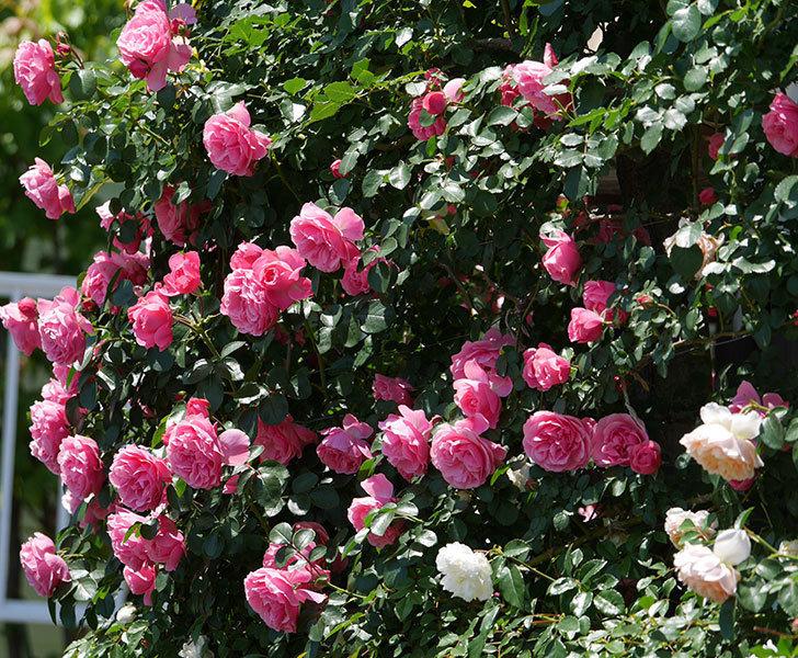 レオナルド・ダ・ヴィンチ(ツルバラ)の花が満開になった。2019年-28.jpg