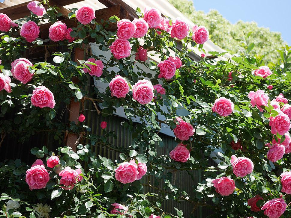 レオナルド・ダ・ヴィンチ(ツルバラ)の花が満開になった。2019年-3.jpg