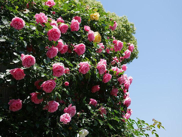 レオナルド・ダ・ヴィンチ(ツルバラ)の花が満開になった。2019年-4.jpg