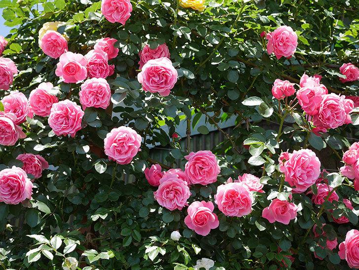 レオナルド・ダ・ヴィンチ(ツルバラ)の花が満開になった。2019年-5.jpg